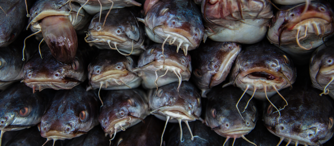 Fresh catfishes on sale in fish market